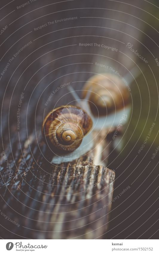 Follow you wherever you may go Nature Animal Snail Snail shell Vineyard snail 2 Line Wood grain Wooden table Crawl Esthetic Wet Natural Beautiful Slowly