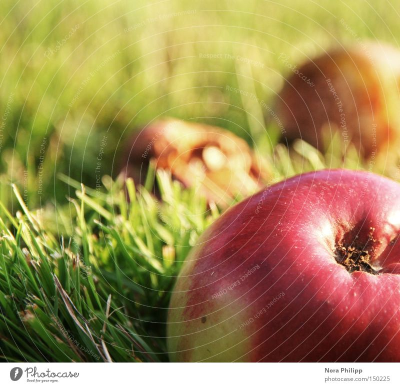 Nature Green Red Nutrition Autumn Meadow Healthy Environment Fruit Fresh Apple Delicious To enjoy Well-being Vitamin Smoothness