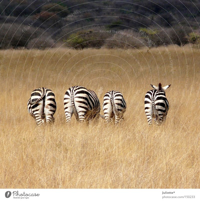 Fuck you on the a... Zebra To feed Africa Steppe Badlands 4 Black White Loneliness Hind quarters Summer Idyll Calm Striped Tails Ear Watchfulness Grass Tree