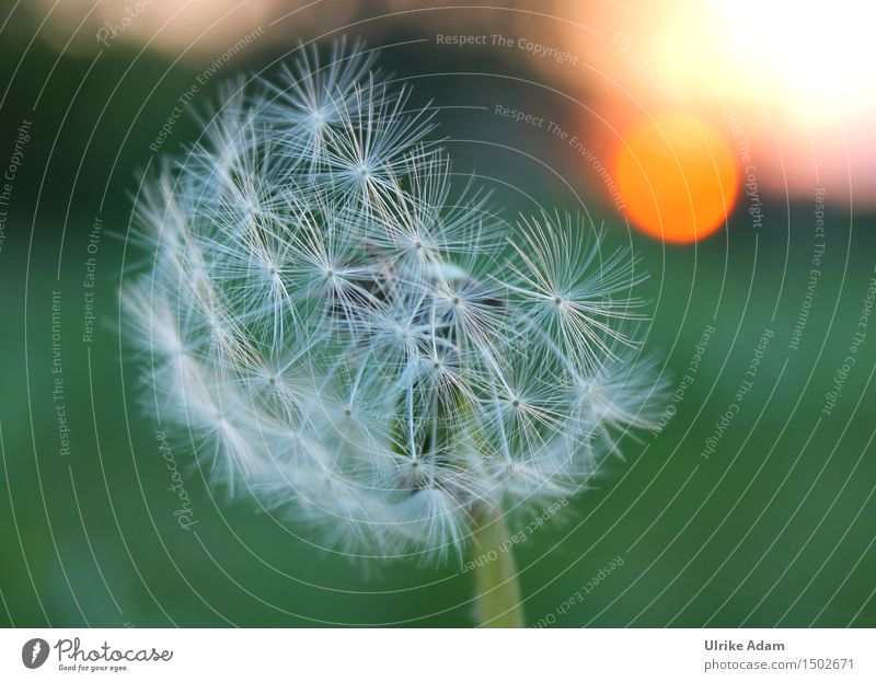 Dandelion in the evening light Art Nature Plant Sun Sunrise Sunset Summer Beautiful weather Flower Blossom Wild plant Seed Meadow Field Faded Authentic Natural
