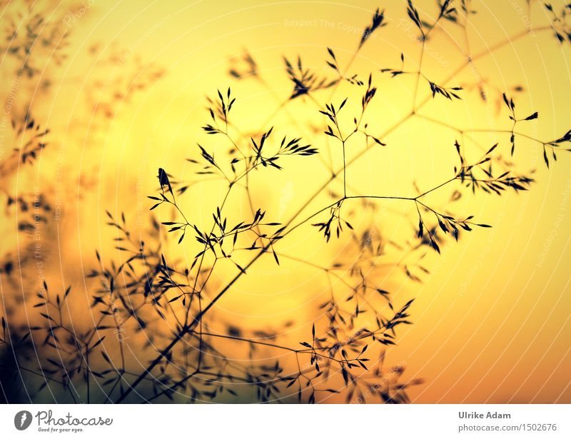 Grasses in the sea of flames Art Nature Plant Sunrise Sunset Sunlight Summer Beautiful weather Seed Meadow Warmth Soft Orange Black Moody Contentment