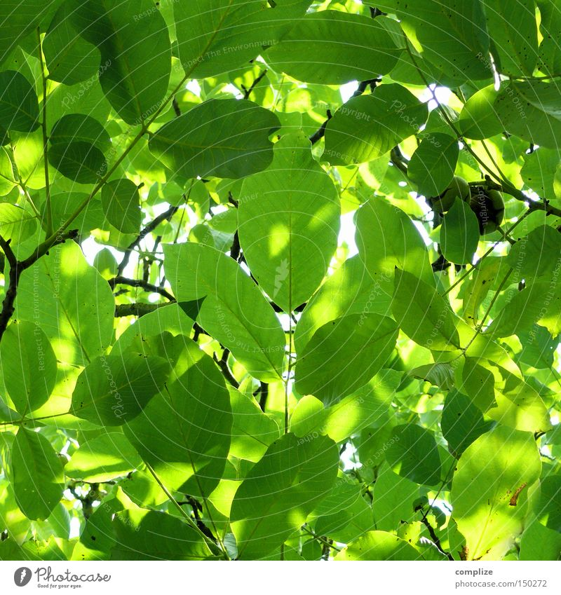 special Leaf Treetop Nature Chestnut tree Rachis Branch Green Twig Maturing time Beautiful Growth Branchage Pure Bright green Bilious green Summer Spring Fresh