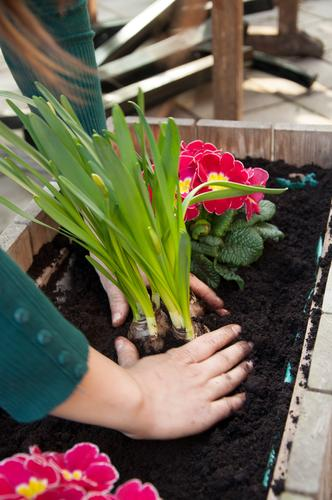 planting time Leisure and hobbies Garden Gardening Hand Earth Spring Summer Plant Flower Blossom Pot plant Balcony Terrace Work and employment Narcissus
