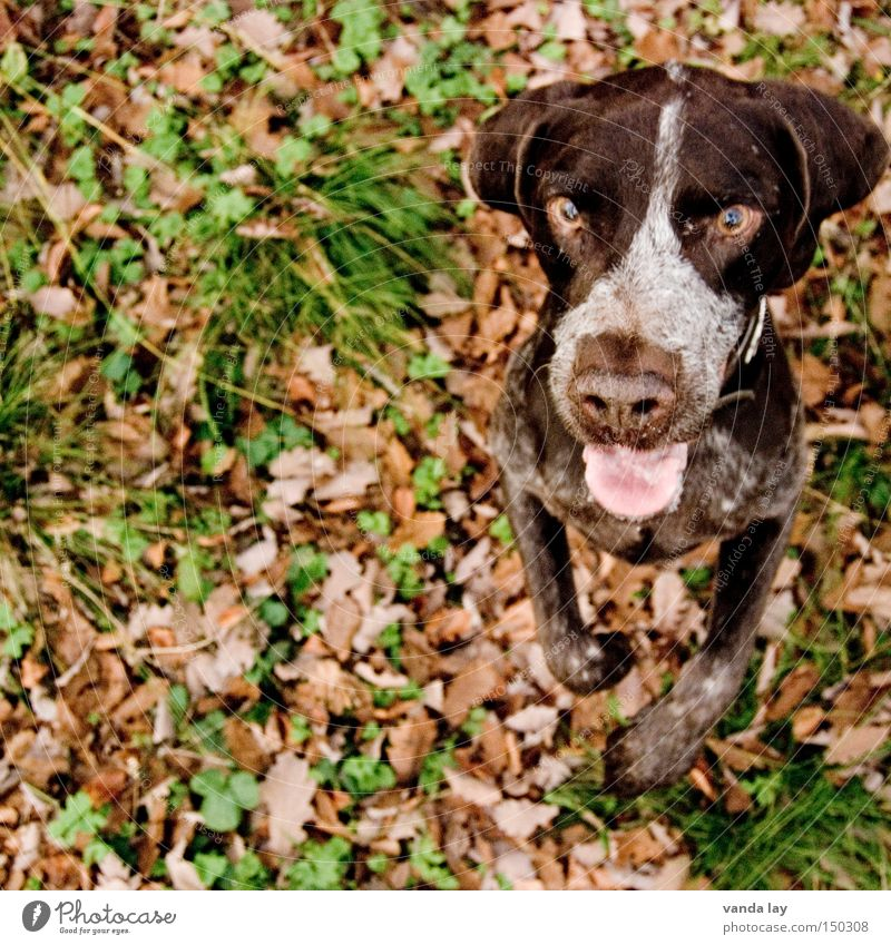 Dog Nature Animal Leaf Autumn Desire Concentrate Hunting Watchfulness Vertical Mammal Anticipation Autumnal Hound