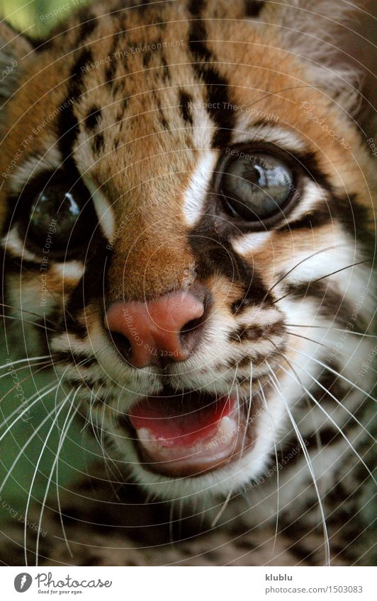 ocelot or dwarf leopard from south american rainforest. Beautiful Mouth Teeth Nature Animal Forest Virgin forest Cat Scream Wild Anger Protection amazon