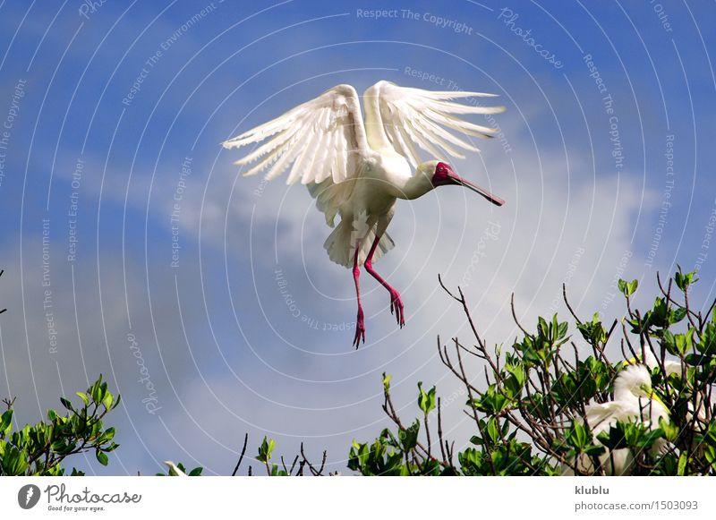 African Spoonbill in Casamance, Senegal, Africa Contentment Animal Park Forest Coast Lake Bird Wing Long Wet Wild acrobatic Acrobat african Balance Beak billed