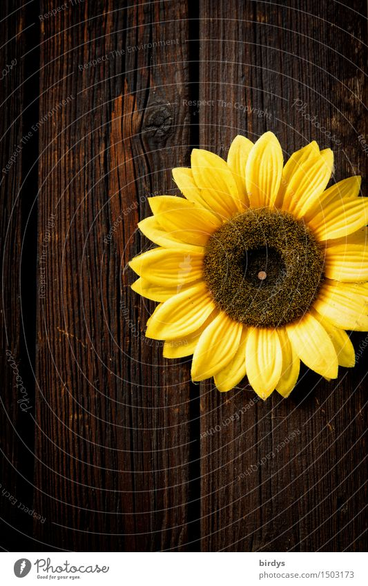 Sunny Flower Blossom Sunflower Wall (barrier) Wall (building) Wooden wall Blossoming Fragrance Illuminate Esthetic Friendliness Positive Round Brown Yellow