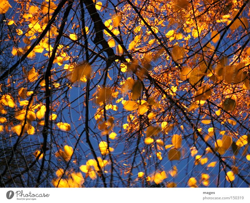 golden leaves Leaf Lime tree Tree Gold Yellow Sky Evening Night Autumn Golden yellow Lighting Beautiful Illuminate
