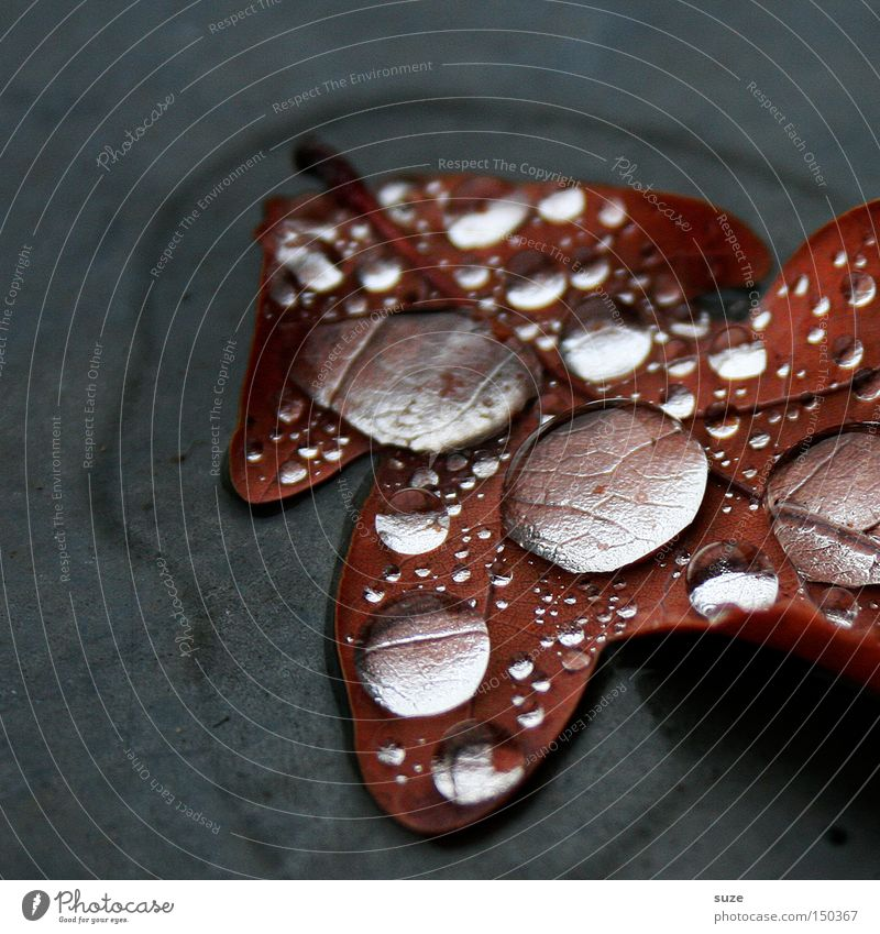 Nature Beautiful Leaf Autumn Gray Rain Brown Drops of water Wet Pure Clarity Natural Exceptional Transparent Autumn leaves Oak leaf
