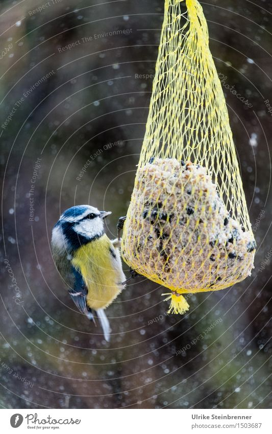 Outside only big dumplings Environment Nature Winter Bad weather Snowfall Garden Window Animal Wild animal Bird Tit mouse 1 To feed Feeding To swing Natural