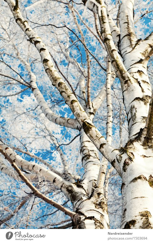 birches Nature Plant Sky Cloudless sky Winter Beautiful weather Ice Frost Tree Forest Fresh Cold Natural Blue White Bizarre Pure Tree trunk Branch Birch tree