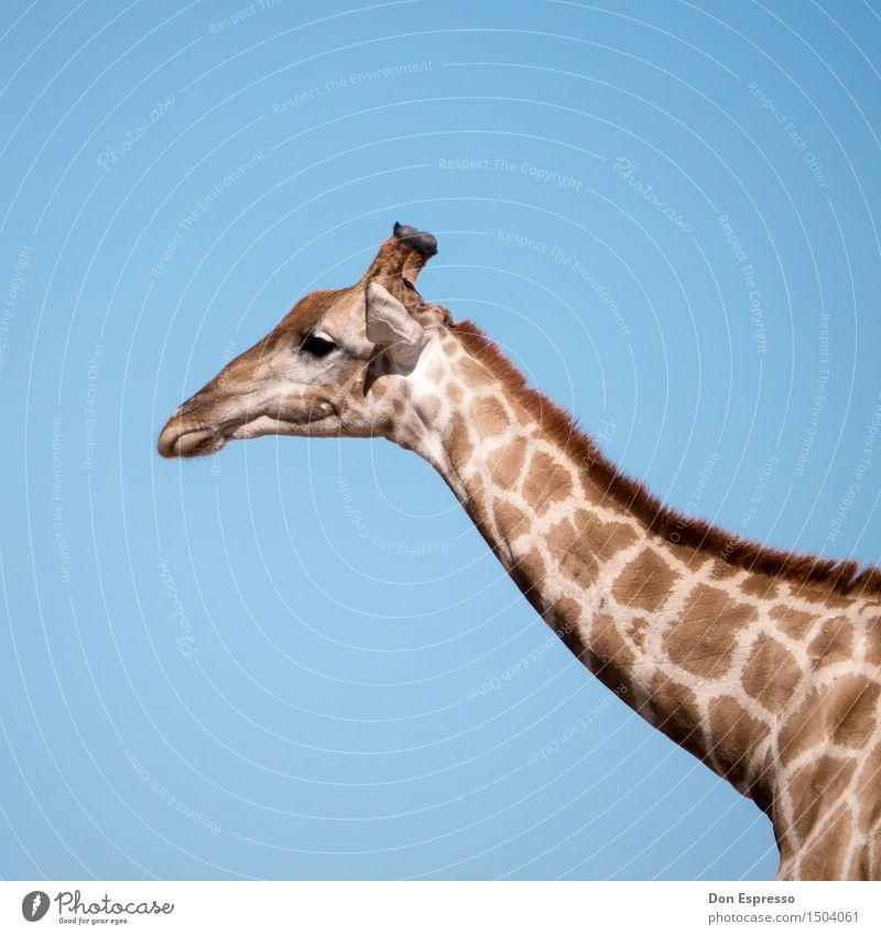 Safari! Vacation & Travel Adventure Far-off places Freedom Nature Animal Wild animal Giraffe 1 Africa Kalahari desert Namibia Neck Pelt Dappled Etosha pan