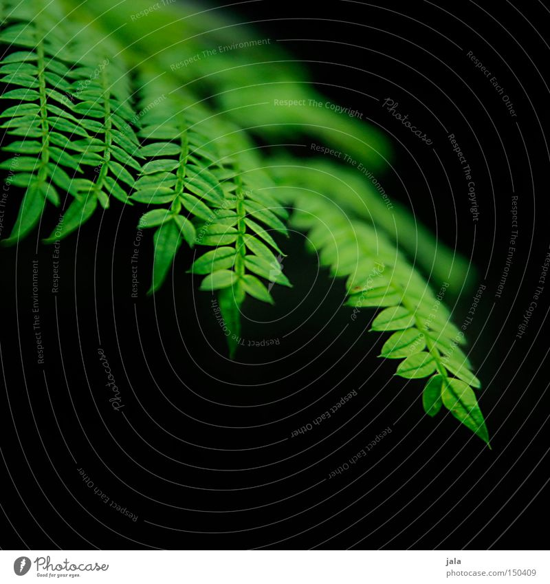Nature Green Beautiful Plant Black Line Park Delicate Fern Pteridopsida