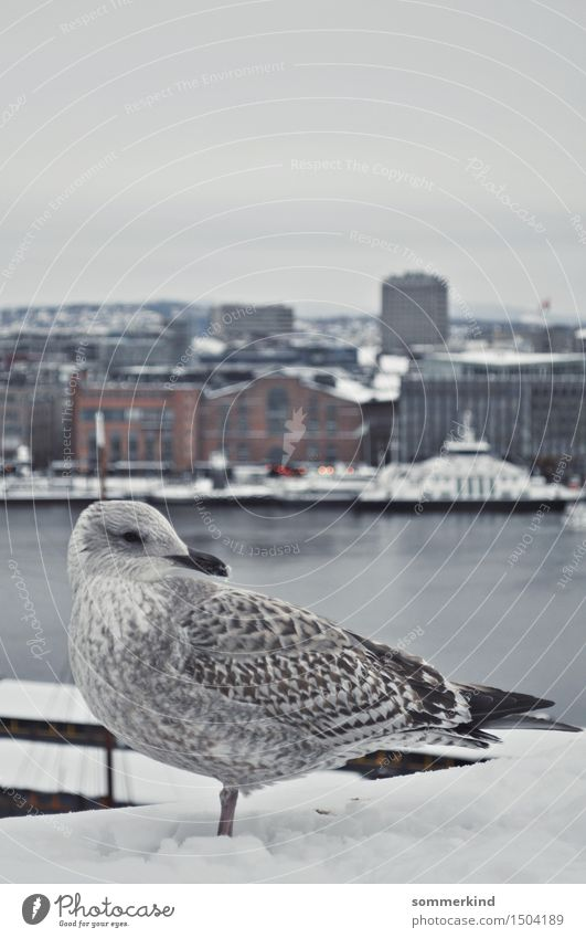 Måke Sky City Blue White Calm Animal Winter Cold Snow Gray Bird Watercraft Ice Wild animal Feather Break