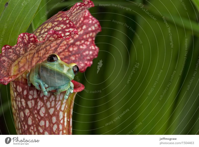 Maroon Eyed Tree Frog on Red Pitcher Plant Environment Nature Animal Flower Exotic Pet Wild animal 1 Baby animal Breathe Observe Hang Crouch Listening Hunting