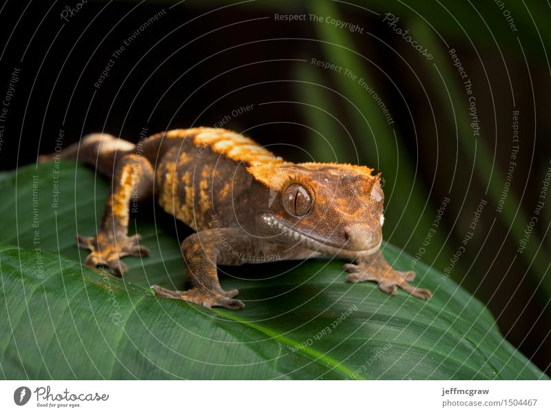 Crested Gecko On Giant Leaf Environment Nature Plant Animal Pet Wild animal 1 Breathe Listening Hunting Sit Stand Bright Beautiful Colour photo Multicoloured