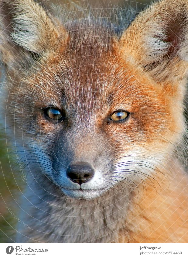 Baby Fox Close Up Nature Animal Meadow Wild animal 1 Baby animal Observe Listening Kneel Sit Beautiful Cuddly Small Colour photo Multicoloured Exterior shot