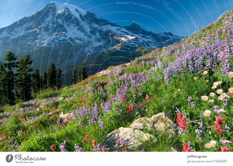 Mount Rainier Wildflowers Environment Nature Landscape Plant Earth Air Sky Sun Summer Tree Flower Grass Meadow Mountain Peak Snowcapped peak Glacier Tall