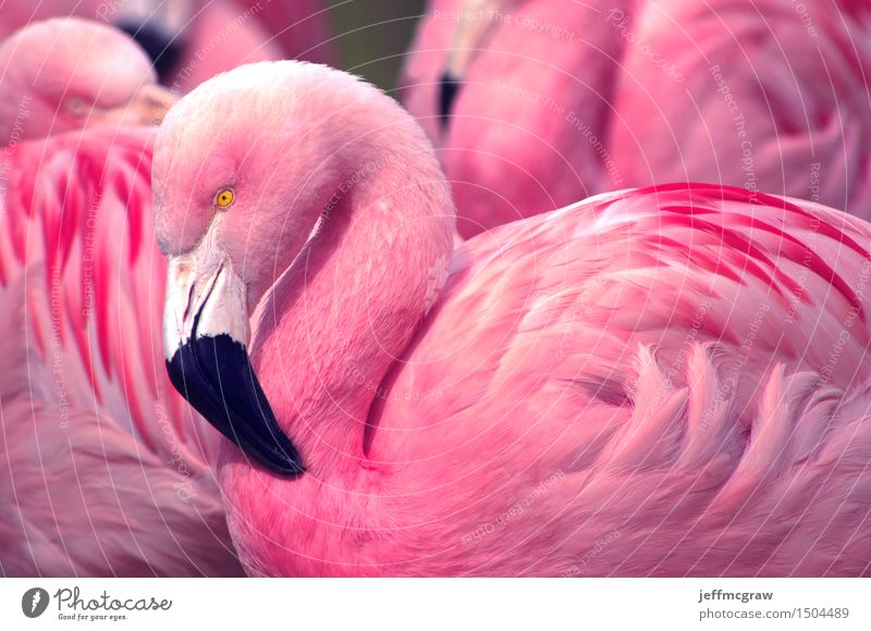Chilean Flamingos Nature Animal Pond Bird Feeding Listening Looking Healthy Bright Beautiful Pink Black Feather colorful Beak Consistency wildlife endangered