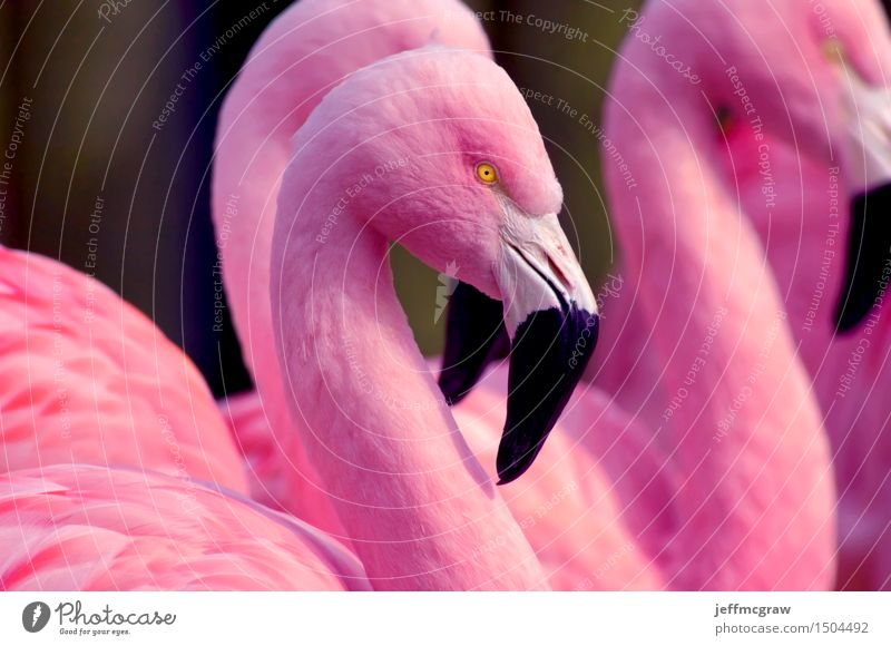 Chilean Flamingos Animal Beautiful weather Pond Pet Wild animal Bird 1 2 3 Breathe Feeding Listening Stand Bright Pink Feather colorful Beak wildlife endangered