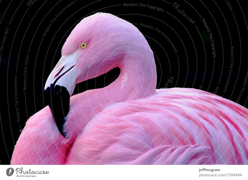 Chilean Flamingo Animal Pond Pet Wild animal Bird 1 Breathe Listening Stand Bright Pink Feather colorful Beak wildlife endangered Colour photo Multicoloured