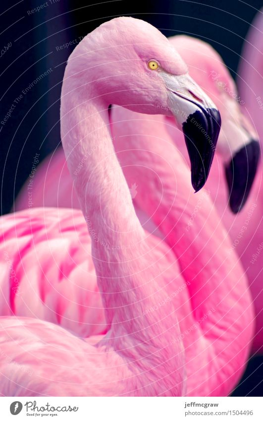 Chilean Flamingo Portrait Beautiful Animal Bird Bright Pink Wild animal Feather Stand Observe Uniqueness Listening Pet Pond Beak Bank note Feeding