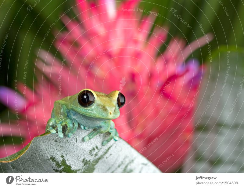 Tree Frog on Leaf Environment Nature Plant Animal Blossom Exotic Pet Wild animal 1 Baby animal Hang Crouch Listening Hunting Colour photo Multicoloured