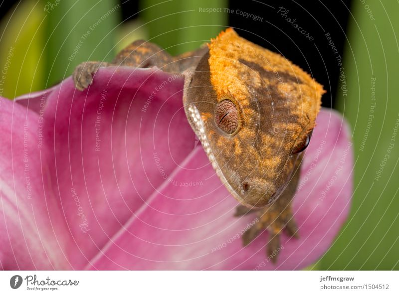 Gecko on Pink Flower Animal Pet Wild animal Animal face Scales 1 Hang Crouch Listening Hunting Crawl Smiling Colour photo Multicoloured Close-up Detail