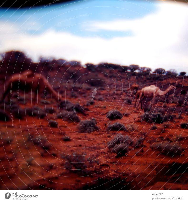 I'm going for miles. Camel Dromedary Desert Burnt Bactrian camel Camel hump Mammal desert animal red earth