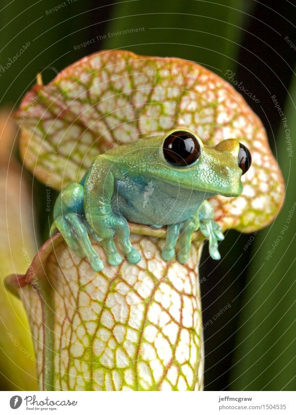 Tree Frog on Picther Plant Nature Animal Wild animal Exotic Hang Pet