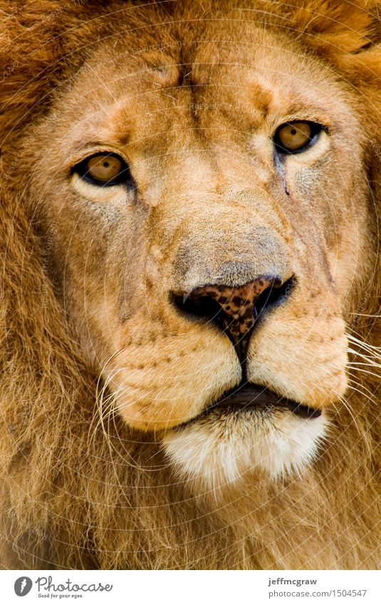 African Lion Animal Wild animal 1 Think Listening Hunting Threat Beautiful Muscular Colour photo Multicoloured Exterior shot Deserted Dawn Day Animal portrait