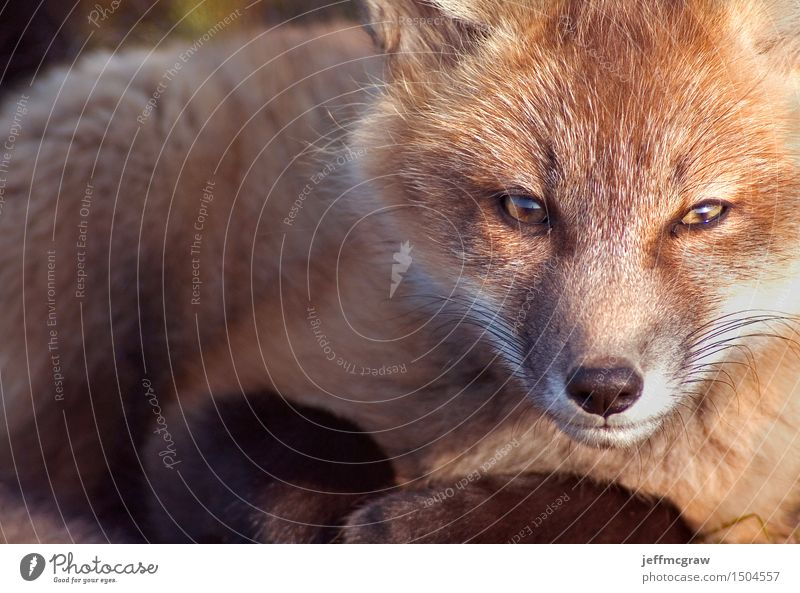 Baby Fox Portrait Animal Grass Meadow Wild animal 1 Baby animal Crouch Listening Kneel Sit Beautiful Cuddly Small Colour photo Multicoloured Exterior shot