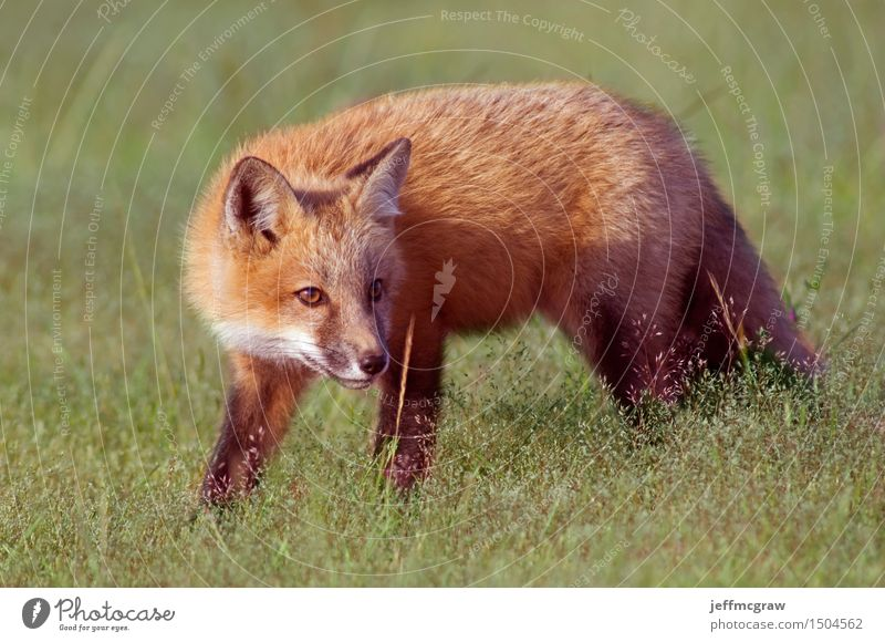 Young Fox Out Exploring Environment Nature Plant Animal Spring Summer Grass Meadow Wild animal 1 Baby animal Crouch Listening Hunting Playing Beautiful Cuddly