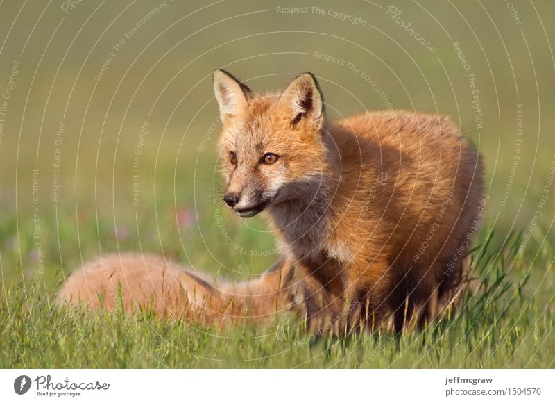 Young Foxes Nature Landscape Animal Grass Meadow Wild animal 2 Baby animal Playing Cuddly Small Beautiful Colour photo Multicoloured Exterior shot Deserted