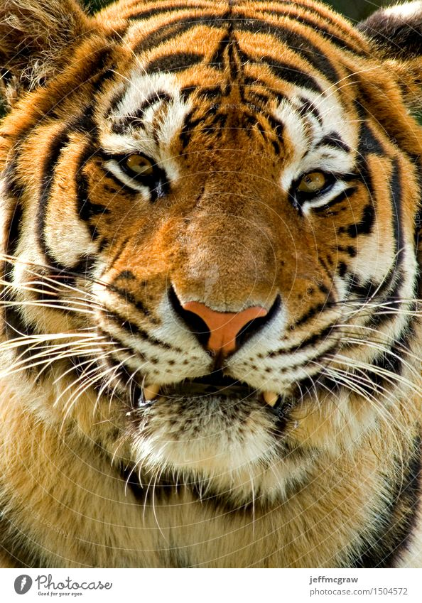 Siberian Tiger Nature Animal Wild animal 1 Aggression Muscular Beautiful Orange Black White Colour photo Multicoloured Exterior shot Deserted Day