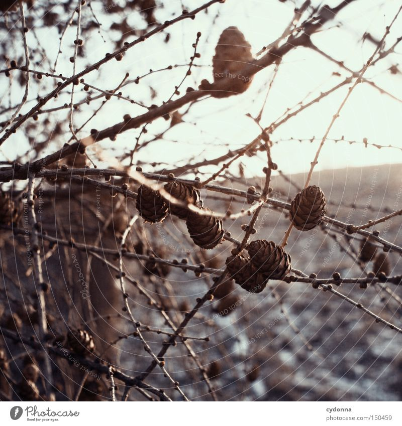 tattoo Twig Winter Delicate Nature Seasons Sleep Field Tree Larch Coniferous trees Vertical Cone Fight Winter activities Branch Light Larch cone