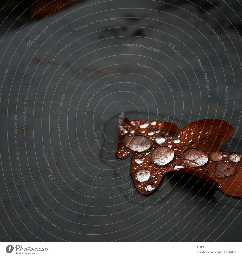 Nature Leaf Loneliness Autumn Gray Sadness Brown Drops of water Gloomy Transience Seasons November Autumn leaves Fallen Oak leaf