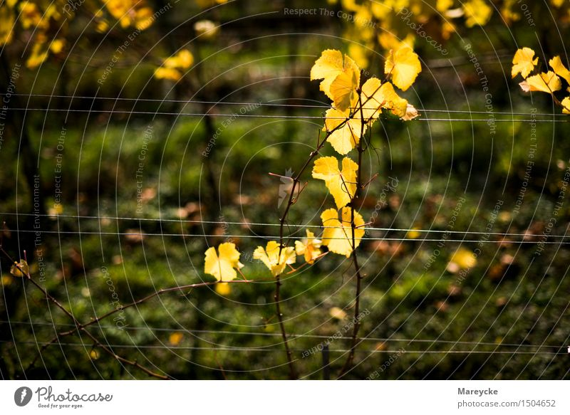Vines in autumn Nature Autumn Beautiful weather Bushes Leaf Colour Moody Vineyard Plant Yellow Colour photo Exterior shot Day Contrast