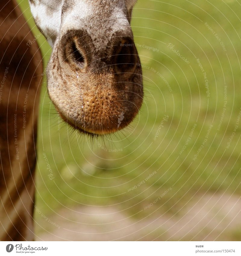 Nose in front Animal Wild animal Giraffe 1 Exotic Love of animals Curiosity Head Neck Wood grain Eyes Eyelash Patch Africa Mammal Colour photo Exterior shot