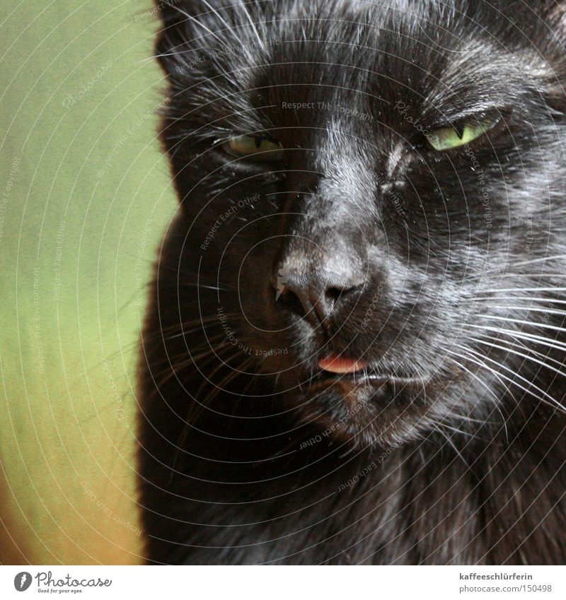 Green Black Head Cat Pelt Mammal Tongue Animal Whisker Bah