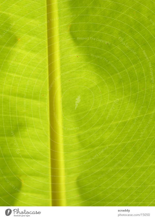 banana leaf Banana Leaf Banana leaves Green Lighting Palm frond Sun