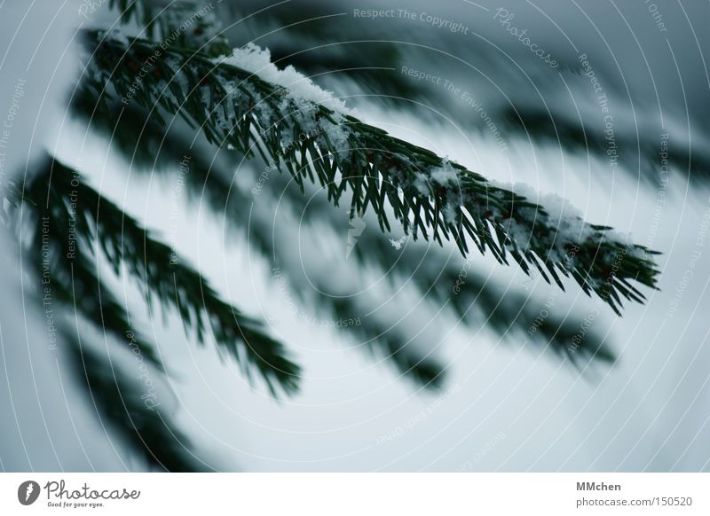 Green White Winter Cold Snow Frost Christmas tree Twig Fir tree