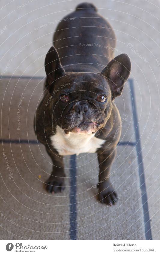 Comic best chances at casting Beautiful Pet Dog Pug Looking Old Fat Small Funny Black White Watchfulness Friendliness Life Bizarre Friendship Emotions Innocent