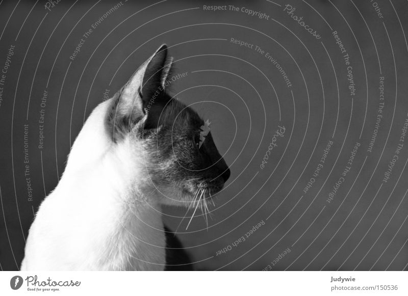 Graceful Cat Noble Domestic cat Hung-over Black & white photo Whisker Earnest Animal Soft Sweet Pelt Grief Loneliness Expectation Loyalty Mammal Beautiful
