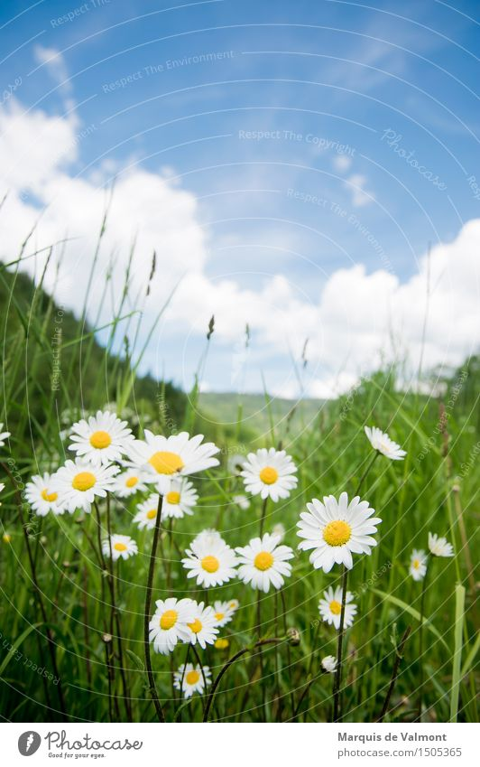 idyll Landscape Plant Sky Clouds Spring Beautiful weather Flower Grass Marguerite Meadow Alps Mountain Fragrance Friendliness Happiness Fresh Bright Natural