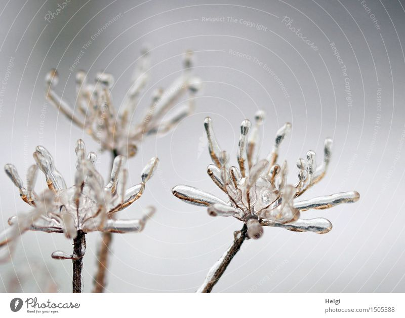 bizarre winter flowers... Environment Nature Plant Winter Ice Frost Blossom Wild plant Meadow Stand Faded To dry up Old Esthetic Authentic Exceptional