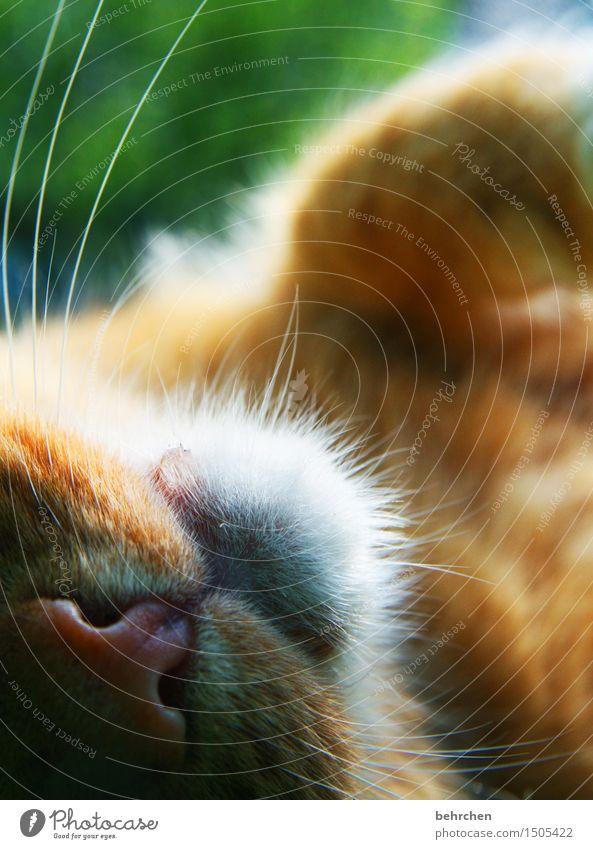 sabberheini Nature Animal Spring Summer Beautiful weather Garden Park Meadow Pet Cat Pelt Nose Muzzle Whisker 1 To enjoy Dream Caress Cuddly Soft Purr