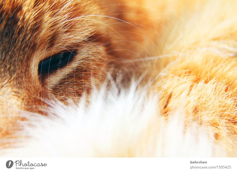 Cat Beautiful Relaxation Animal Eyes Orange Dream Soft Sleep Touch Delicate Pelt Pet Animal face Safety (feeling of) Cuddly