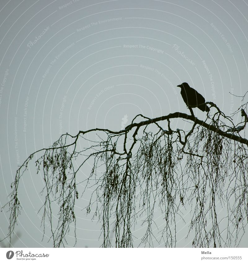 on one's own Environment Nature Tree Branch Animal Bird Crow 1 Natural Blue Black Branchage Silhouette Colour photo Exterior shot Deserted Copy Space top