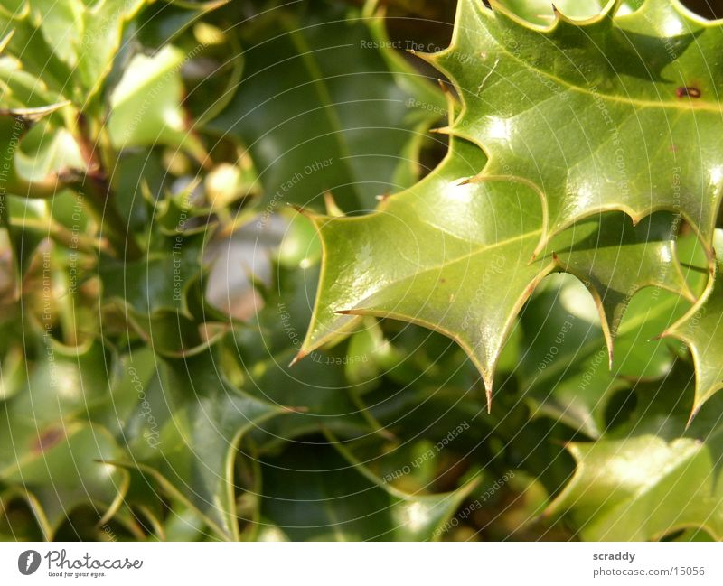 holly Ilex Plant Green Leaf Environmental protection Blur reflection